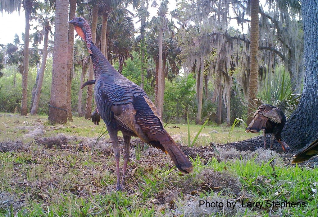 Osceola Gobbler Standing at Attention!