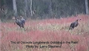 Trio of Osceola Longbeards Gobbling in the Rain!
