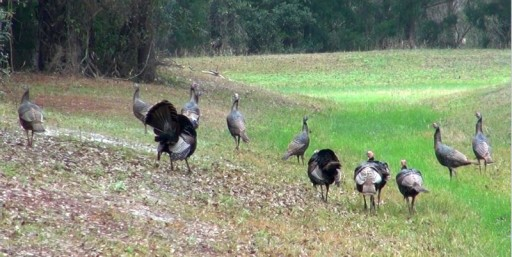 Big Osceola Flock with 5 Gobblers