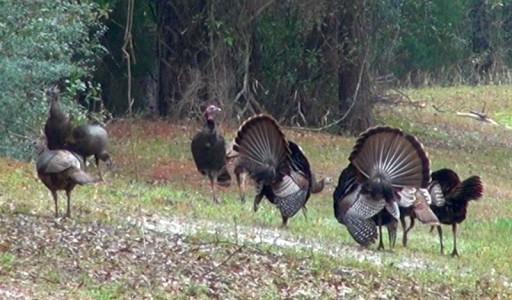Turkey Flock 3-7-14