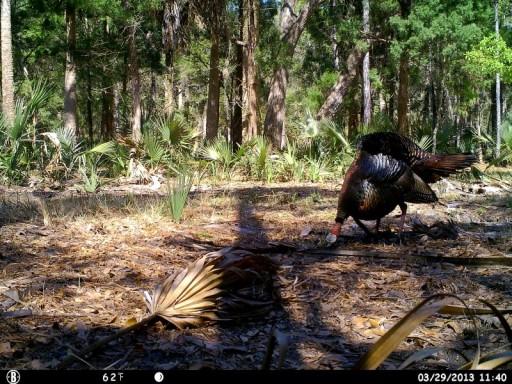 Bull Creek Gobbler Strutting & Feeding 1