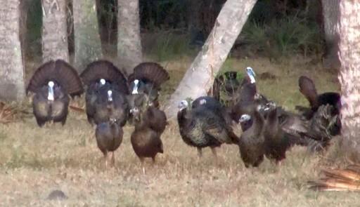 Bull Creek Osceola Turkey Flock