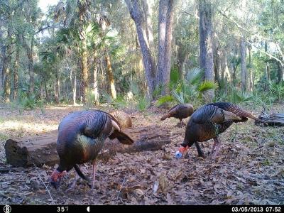 Fl Longbearded Turkeys 3-5-13 020