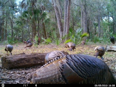 Osceola Turkey Flock