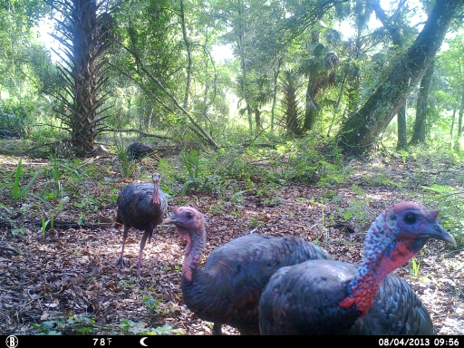 Gobblers on Trail Camera