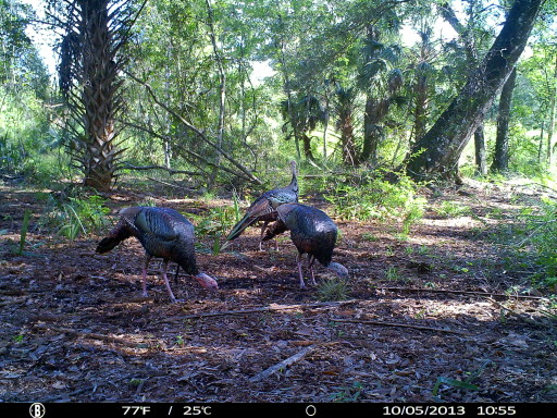 Gobbler Photos By Trail Camera