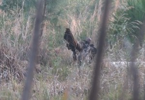 Morgans 2 hunt gobbler 1