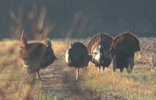 Strutting Osceola Jake Turkeys 2-17-14
