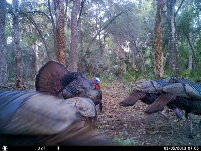 Displaying Osceola Turkey Gobbler