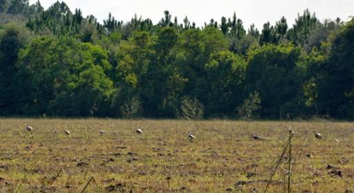 gobbler flock