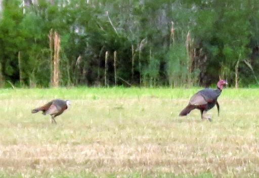 Osceola gobbler & hens