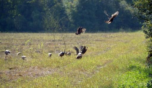 hen flock