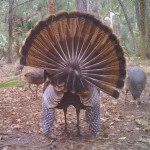 Gobbler Rear View