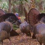 Gobblers displaying for the Hens
