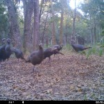 Bull Creek Turkeys 1