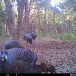 Turkey looking into trail camera