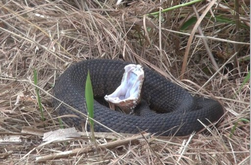 Cottonmouth 4-13-13