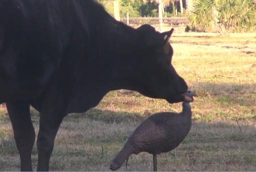 Cow licking my turkey Decoy 1