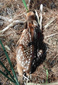 New Fawn 3-21-13 photo by Rick Edwards 2 sm