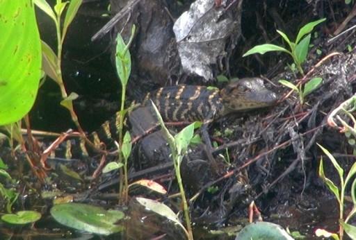 Turkey Hunt & Baby Gators 6 sm