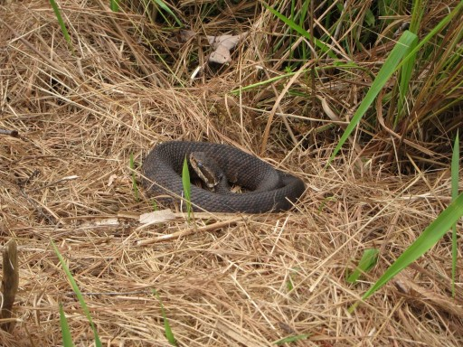 Coiled Cottonmouth Moccasin