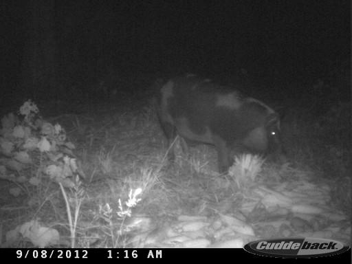 florida spotted hog CDY_0023