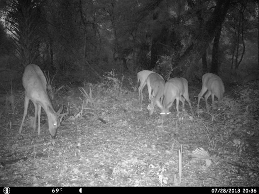 Florida deer on trail camera
