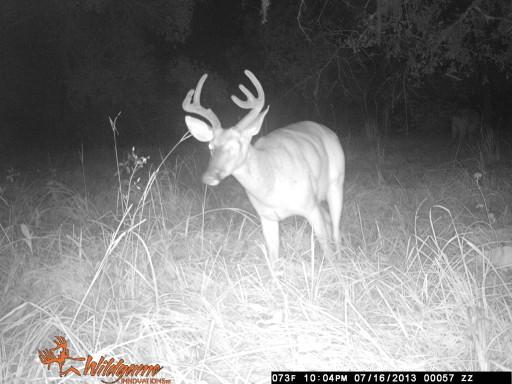 Florida Whitetail buck in velvet