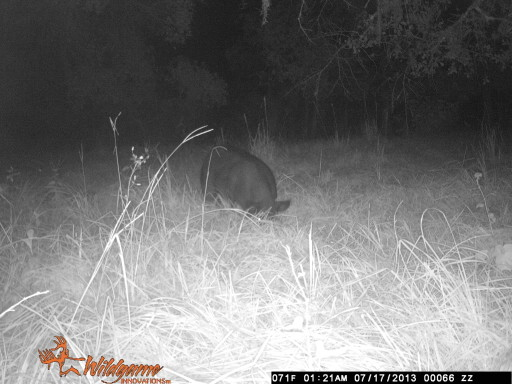 Florida wild hog.