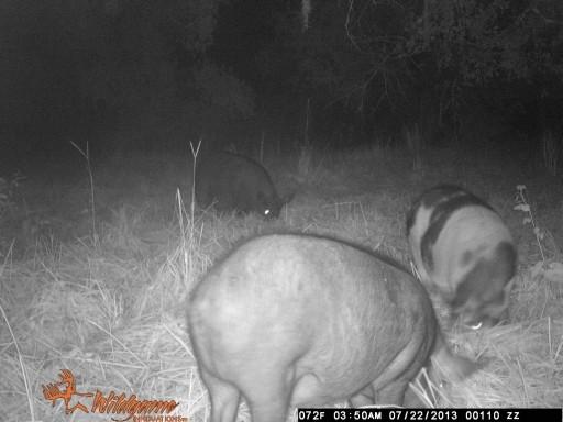 Big Fat Hogs WGI_0110