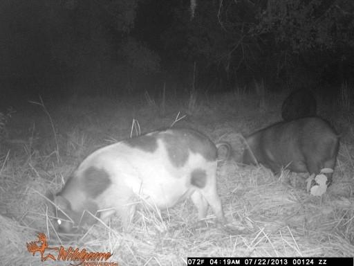 Some Fine Wild Hogs WGI_0124
