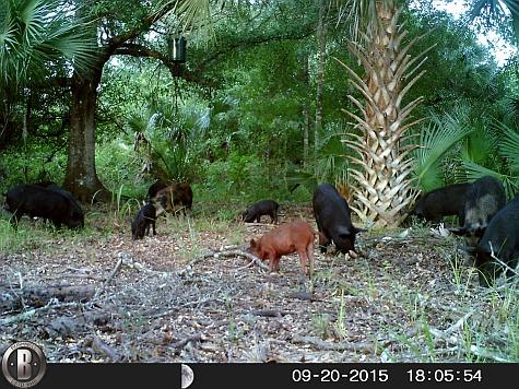 A heard of FL wild hogs