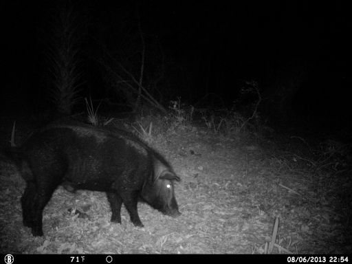 Boar Hog on Trail Camera