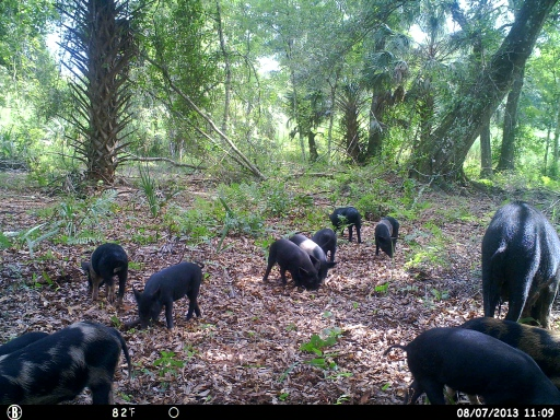 Trail Camera Photo - Hogs Every where