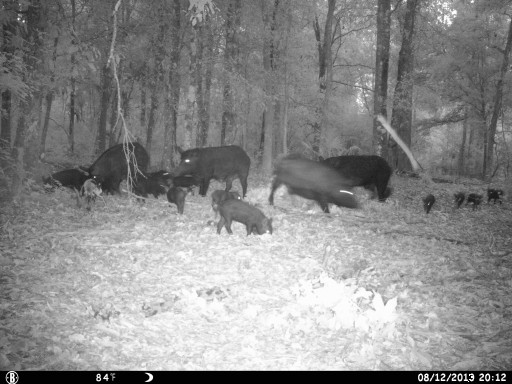 Hogs on Trail Camera 2013