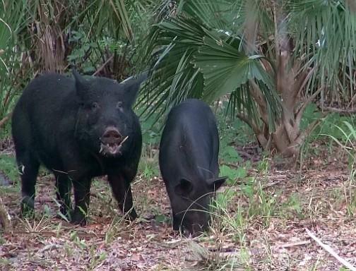 Monster Hog Trail Cam Pic 9-22-15