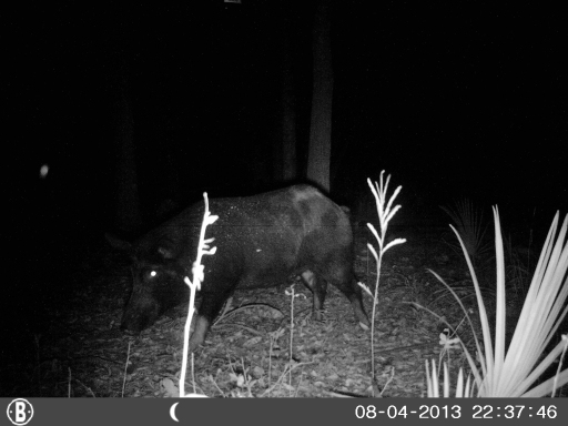 Big wild hog