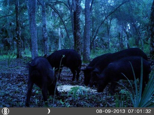 Wild Hogs at Feeder