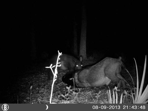 Hog crawls into 5 gallon bucket