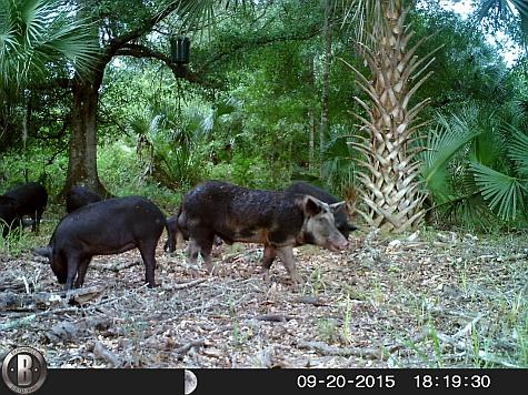 big spotted boar Hog