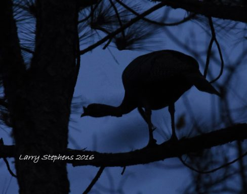 gobbler-on-the-roost-12-25-16-1