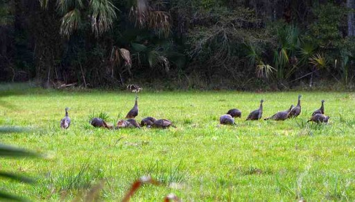 Osceola Hens out bugging 1-17-16 sm