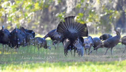 Osceola Strutter with hens 2-12-17