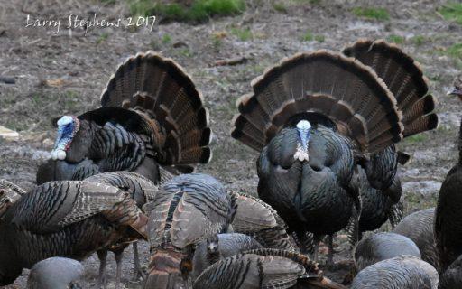 big osceola turkey flock 1-28-17
