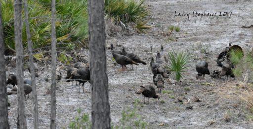 big osceola flock 1-28-17
