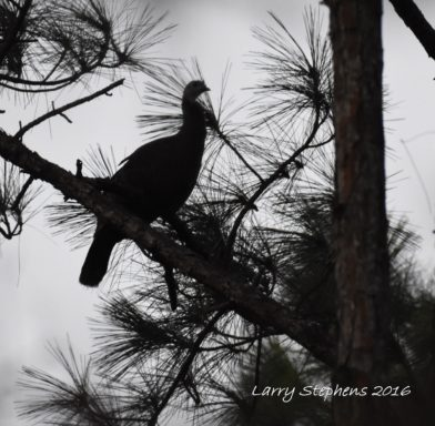 roosted-osceola-hen-12-25-16-4