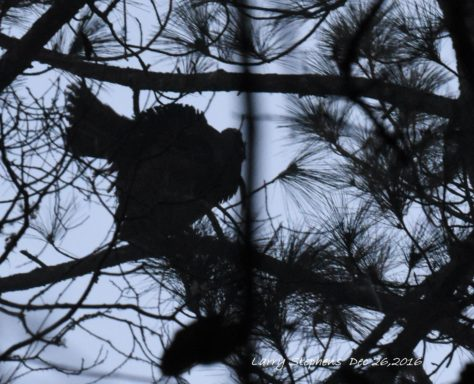 strutting-on-the-roost-12-26-16-2
