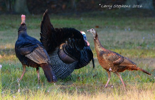 Osceola Tom Displaying for a Hen 2-13-16
