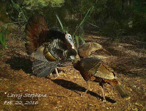 Strutting Gobbler on Trail Camera 2-22-16