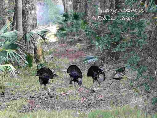 Strutting Gobblers 2-22-16